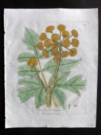 Woodville 1810 Hand Col Botanical Print. Angelica Archangelica 35